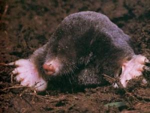 mole_400